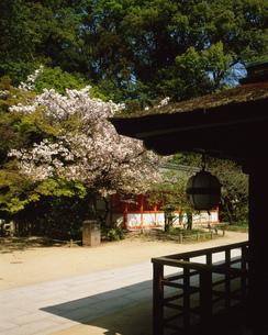 八重桜咲く北野天満宮境内の写真素材 [FYI04030525]