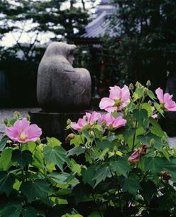芙蓉とだるま像 法輪寺(だるま寺)の写真素材 [FYI04030604]