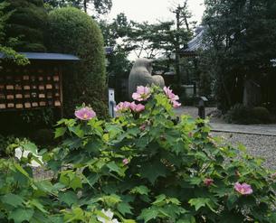 芙蓉咲く境内 法輪寺(だるま寺)の写真素材 [FYI04030630]