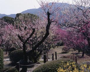小野梅園のはねずの梅 隨心院の写真素材 [FYI04030757]