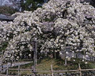 千眼桜 大原野神社の写真素材 [FYI04030769]