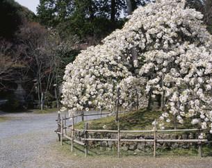 千眼桜 大原野神社の写真素材 [FYI04030770]