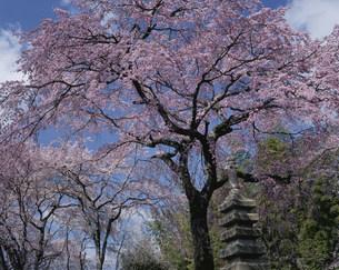 枝垂れ桜 佐野藤右衛門の桜畑の写真素材 [FYI04030774]