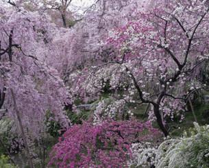 枝垂れ桜 原谷苑の写真素材 [FYI04030775]