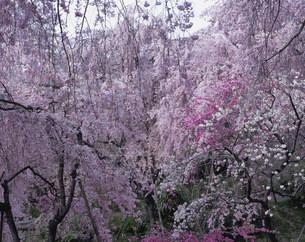 枝垂れ桜 原谷苑の写真素材 [FYI04030776]