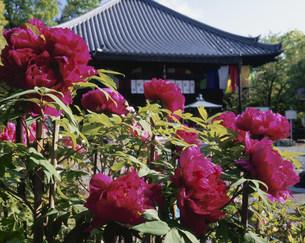 牡丹と和傘 乙訓寺の写真素材 [FYI04030797]