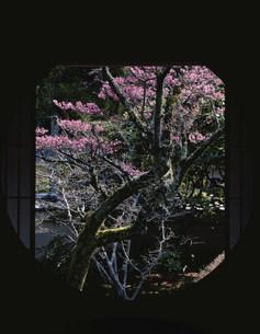 丸窓と紅梅 雲龍院 泉涌寺の写真素材 [FYI04030826]