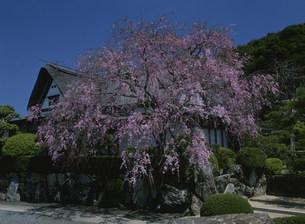 柿右衛門窯のしだれ桜の写真素材 [FYI04031000]
