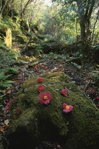 島内トレッキングコースの椿の写真素材 [FYI04032127]