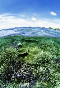 石垣北部のサンゴの群生の写真素材 [FYI04032136]