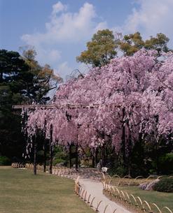 城南宮 紅枝垂桜の写真素材 [FYI04032275]