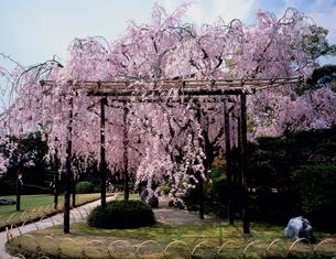 城南宮 紅枝垂桜の写真素材 [FYI04032281]
