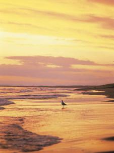 斜里海岸の夕暮と魚を待つウミネコ 以久科原生花園の写真素材 [FYI04032392]