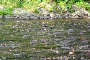 カラフトマスの遡上 遠音別川の写真素材 [FYI04032733]