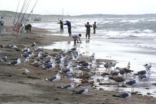 カラフトマス釣人とウミネコの群れの写真素材 [FYI04032756]