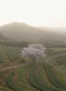 黄砂に霞む茶畑の桜の写真素材 [FYI04032872]