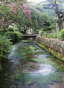 梅花藻の咲く地蔵川 醒井宿の写真素材 [FYI04032911]