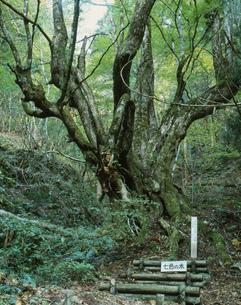 仏主の七色の木(桂)の写真素材 [FYI04032967]