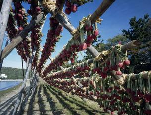 琵琶湖湖岸の赤カブラ干しの写真素材 [FYI04033001]