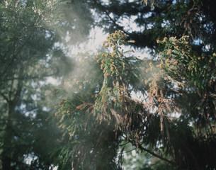 杉の花粉の写真素材 [FYI04033042]