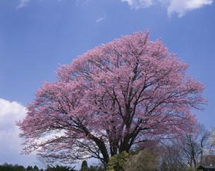 地蔵久保の大山桜の写真素材 [FYI04033317]
