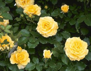 黄色いバラの写真素材 [FYI04033411]