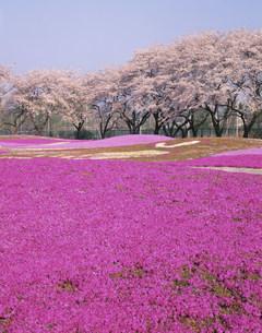 野鳥の森フラワーガーデンの芝桜の写真素材 [FYI04033554]