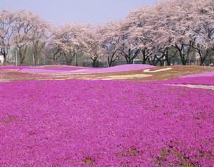 野鳥の森フラワーガーデンの芝桜の写真素材 [FYI04033555]