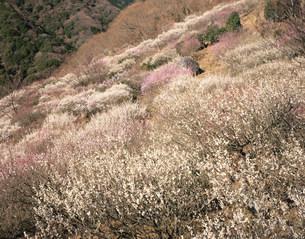 湯河原梅林の写真素材 [FYI04033579]