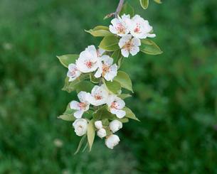 西洋ナシの花(マルゲリットマリーラ)の写真素材 [FYI04033749]