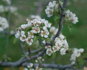 西洋ナシの花(ラ・フランス)の写真素材 [FYI04033750]