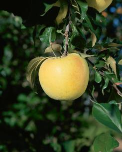 リンゴ 名月種の写真素材 [FYI04033774]