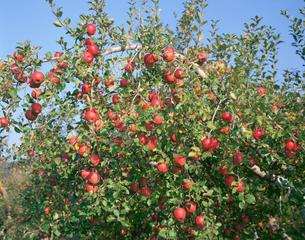 リンゴ ふじの写真素材 [FYI04033839]