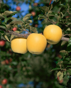リンゴ シナノゴールドの写真素材 [FYI04033850]