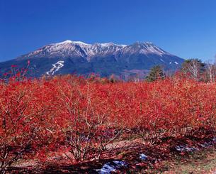 ブルーベリーの紅葉と御嶽山の写真素材 [FYI04033859]