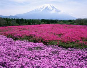 富士山と芝桜の写真素材 [FYI04033876]