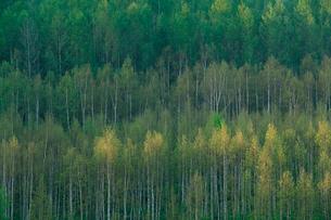 白樺の新緑の写真素材 [FYI04033919]