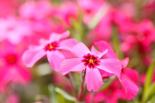 芝桜の写真素材 [FYI04033924]