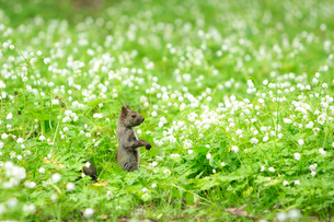 エゾリスとにりん草の写真素材 [FYI04033935]