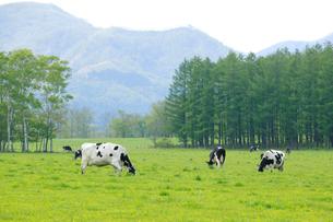 牧場の乳牛の写真素材 [FYI04033940]