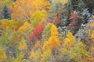 初雪を冠った紅葉の写真素材 [FYI04034022]
