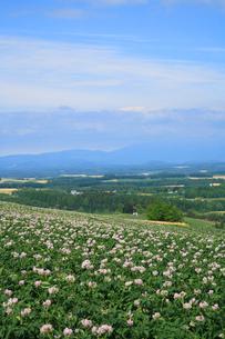 満開のジャガイモの花の写真素材 [FYI04034025]