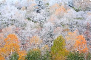 初雪を冠った紅葉の写真素材 [FYI04034026]