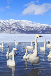 屈斜路湖の白鳥の写真素材 [FYI04034095]