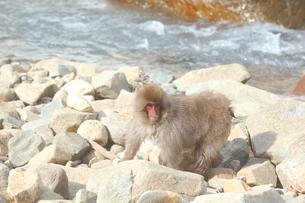 猿の写真素材 [FYI04034125]