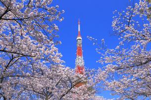 東京タワーとサクラの写真素材 [FYI04034142]