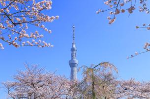 東京スカイツリーと桜の写真素材 [FYI04034147]