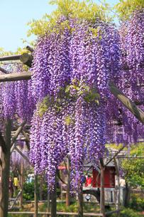 亀戸天神社の藤の花の写真素材 [FYI04034151]
