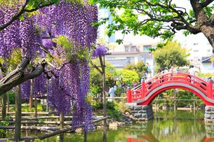 亀戸天神社の藤の花の写真素材 [FYI04034152]