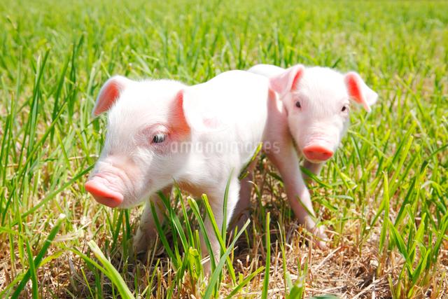 子豚の写真素材 [FYI04034154]